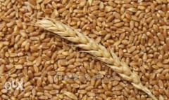 Пшеница твердого сорта