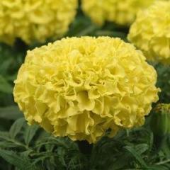 "Tagetis Marigold F1 ""Taishan Yellow"