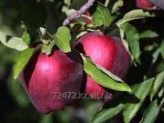 Red Delicious apples (Red delishes)