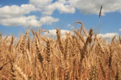 Зерно фуражное, Фуражное зерно