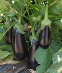 Aragon F1 eggplant seeds
