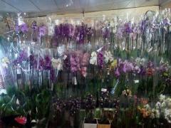 Орхидеи в горшочках