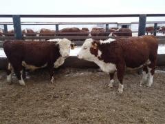 Breeding bull-calves of breed Hereford