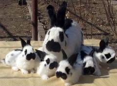 Кролики пестрые