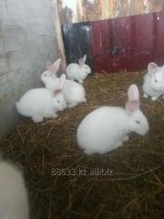 Кролики Белый Фландер