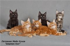 Maine Coon of a cat kittens