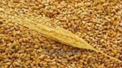 Wheat feed