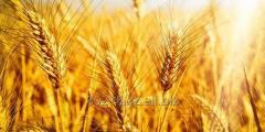 Пшеница мягкая четвертого класса