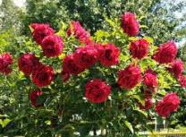 Розы кустарниковые красные