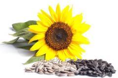 Seminţe de floarea soarelui pentru ueli