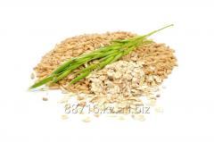 Forage oat