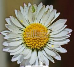Camomile long-term