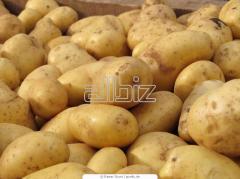 Картофель кормовой