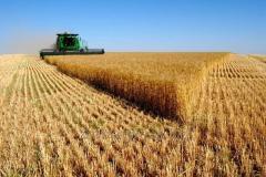 Wheat 3, 4 class