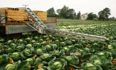 The conveyor loader for cleaning of cabbage of TRZ
