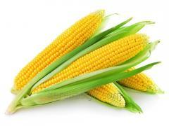 Продовольственная кукуруза