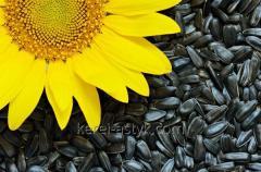 Forage sunflower