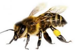Preparations antifungal for bees