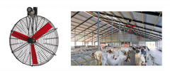 The highly effective fan for a cowshed