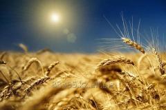 Wheat 5th class