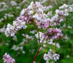 Medical buckwheat, Honey