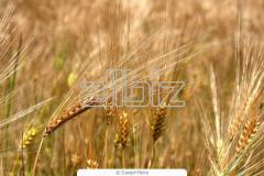 Пшеница Ячмень Зерно