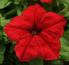 Grandiflor F1 petunia Dreams series