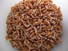 Wheat for germination