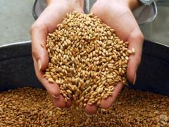Зерно Пшеница Ячмень