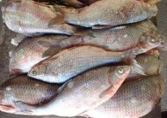 Bream average (frozen)
