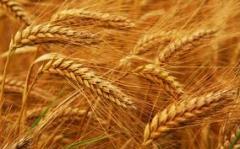 Wheat fodder 4, 5 class