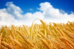 Пшеница, зерновые, экспорт CIF