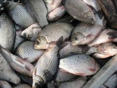 Свежозамороженная рыба: сазан, лещ, щука, карась, колтык, рыбный фарш