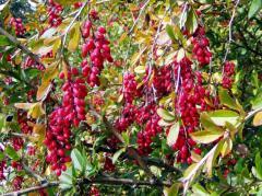 Саженцы декоративных растений (боярышник,