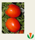 Seeds of tomatoes Dual Plas F1