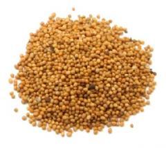 Семена белой горчицы