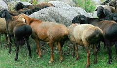 Bayanaulsky breeding breed! Kazakh grubosherstny