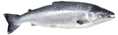 Стальноголовый лосось