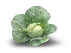Cabbage Pandion