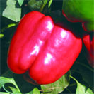 Red knight of X3R F1 pepper seeds