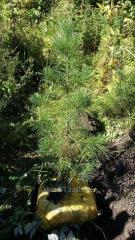 Кедр (Сосна Сибирская) от 0,7 до 1 метра