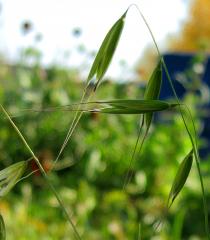 Ovsyug with barley, in bulk