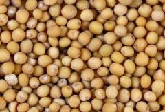 Зерна горчицы Сарептской или сизой