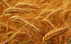 محصولات زراعی غلات