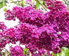 Lilac seedlings