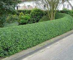 Plants for hedgerows