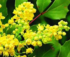 Flowers of trailing mahonia