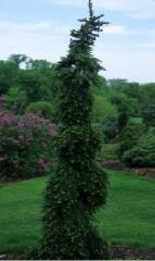 Ель сербская Пендула Брунс (Picea omorica Pendula Bruns)