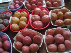 Производим и реализуем семенной картофель