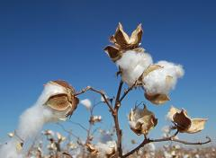 Cotton, Cotton raw